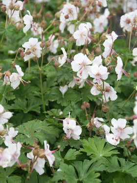 Geranium Biokovo (Like the foliage more than the flowers - however it is a very tough plant - grew great in a pot)