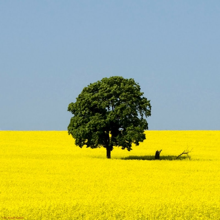 Startlingly yellow crop field in Tófalu, Hungary