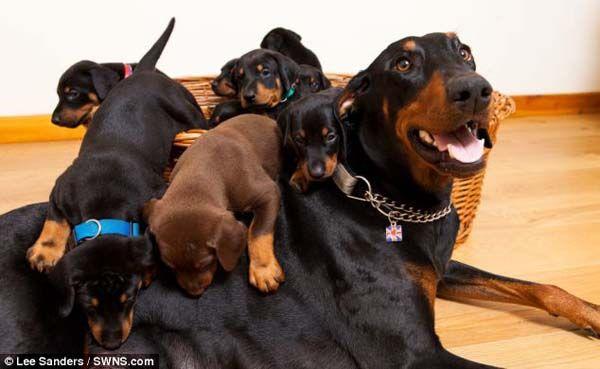 13 Cachorros Adorables Nacidos De Una Madre Afortunada http://www.sitioviral.com/13-cachorros-adorables-nacidos-de-una-madre-afortunada/