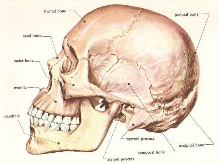 #skull #anatomy