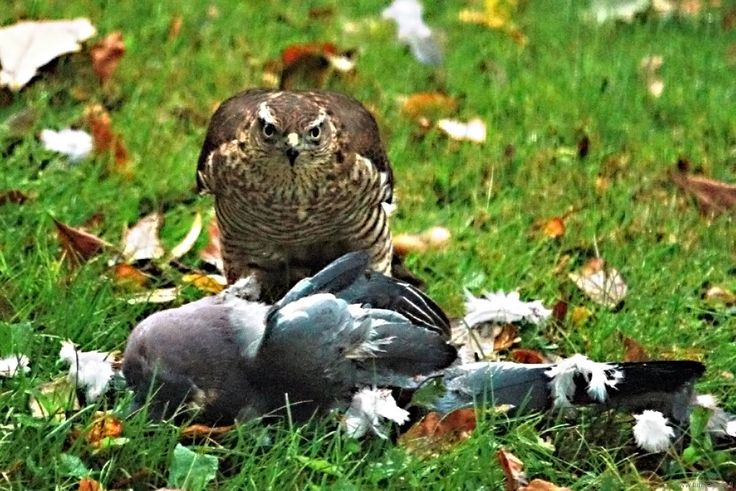 """05-10-2014-northern-goshawk-an-his-catch. This time much closer and also eating his prey at my courtyard. Here he is stating: """"this is mine, keep off!"""""""