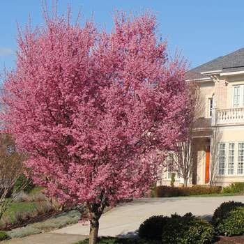 Flowering Cherry Trees | Fast Growing Trees