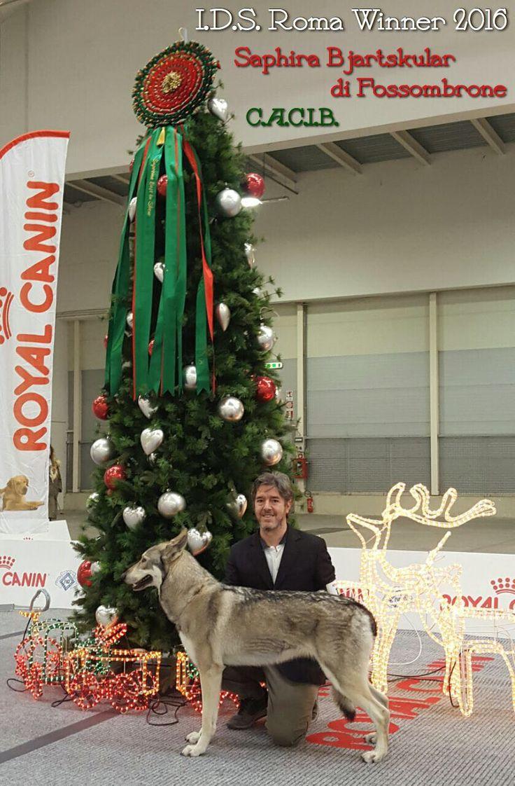 Saphira Bjartskular di Fossombrone CACIB alla Expo' Internazionale ROMA WINNER 2016!!! 🏆🏅🐺🐾 #Saarloos #DiFossombrone