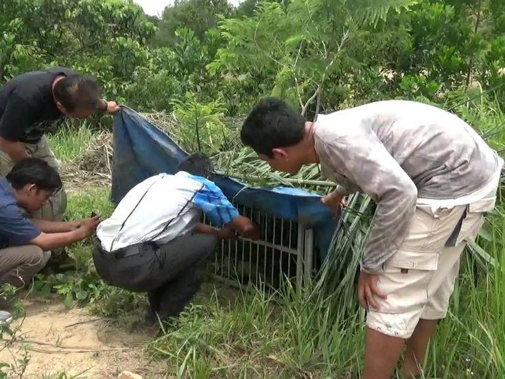 Anak Harimau Korban Perangkap Rusa Dirawat di Yayasan Bodhi Citta