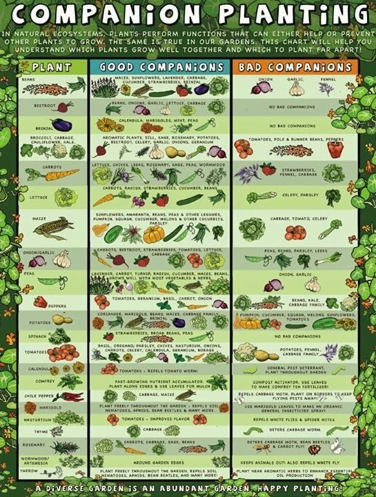 Delicieux Companion Planting: Which Plants Work Well With Each Other And Which Dont.    Gardening And Patio