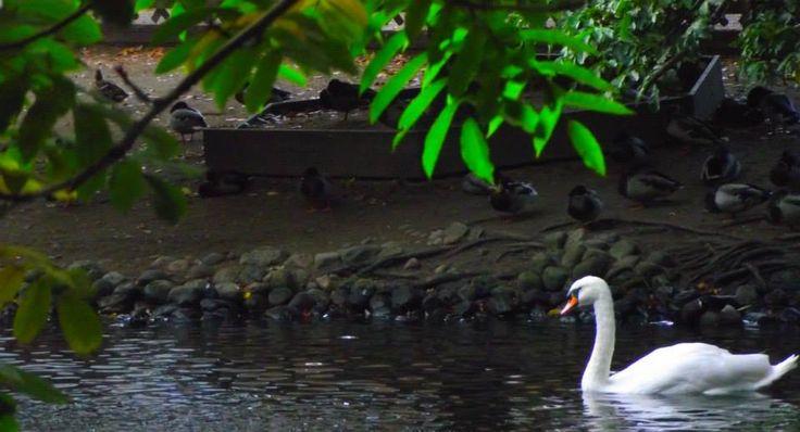 Swan Swimming in duck paradise. Hembygdsparken Ängelholm. #Ängelholm #Sweden #Autumn #Hembygdsparken