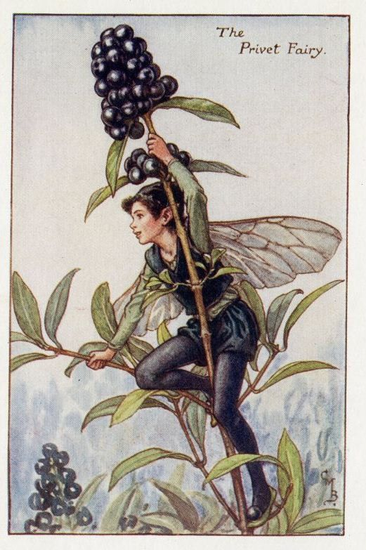 This beautiful Privet Flower Fairy Vintage Print by Cicely Mary Barker was printed c.1927 and is an original book plate from an early Flower Fairy book..