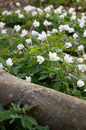 The delicate and beauty of our native Anemone nemorosa.