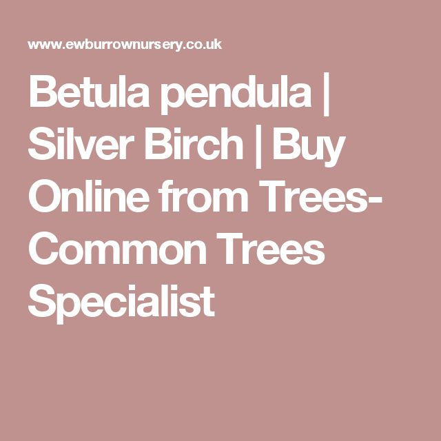 Betula pendula | Silver Birch | Buy Online from Trees- Common Trees Specialist