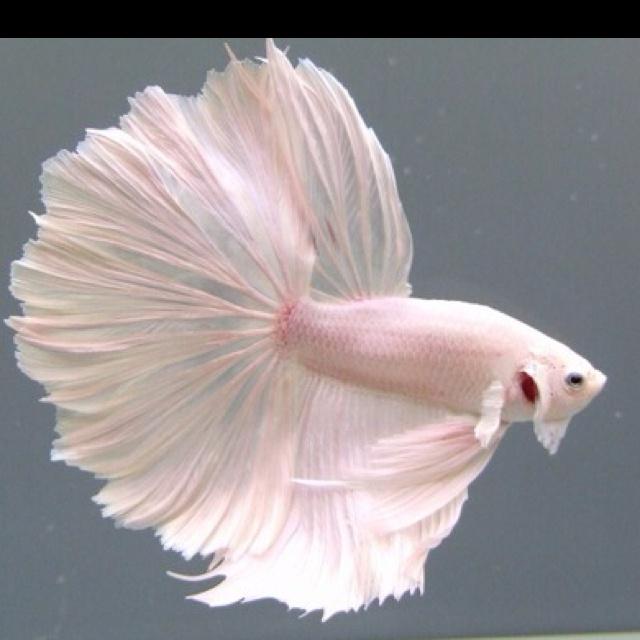 soft pink Betta fighting fish...