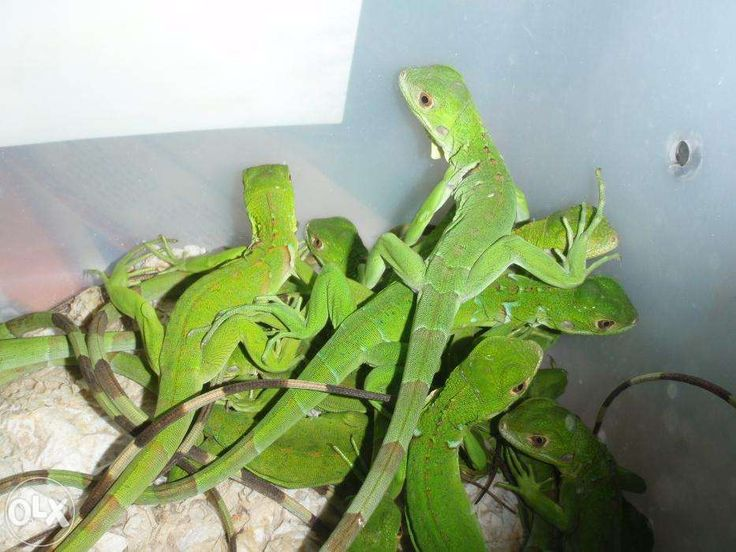 Baby Green Iguanas For Sale Philippines Find New And