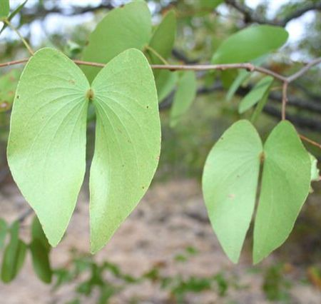 Mopani leaves.