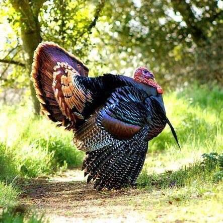 Wild turkey are spotted occasionally at Boondockers Landing, but they are fast! Don't blink.