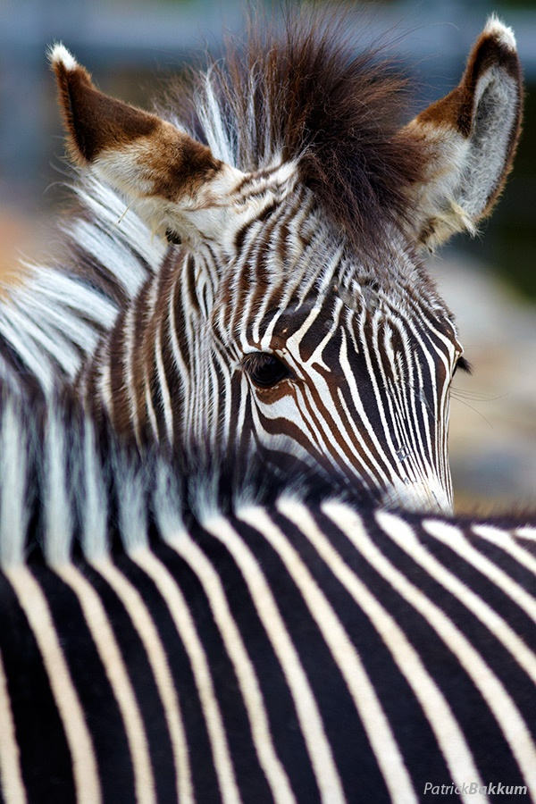 an analysis of the plains zebra animal species of africa About the plains zebra no animal has a more distinctive coat than the zebra each animal's stripes are as unique as fingerprints—no two are exactly alike—although each of the three species has .