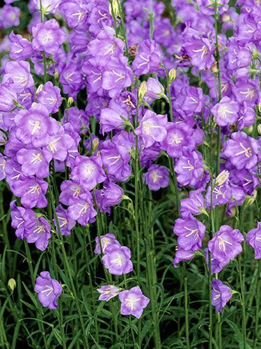 7 Perennials That Will Bloom Multiple Times This Summer.. (Pictured: Peachleaf Bellflower)