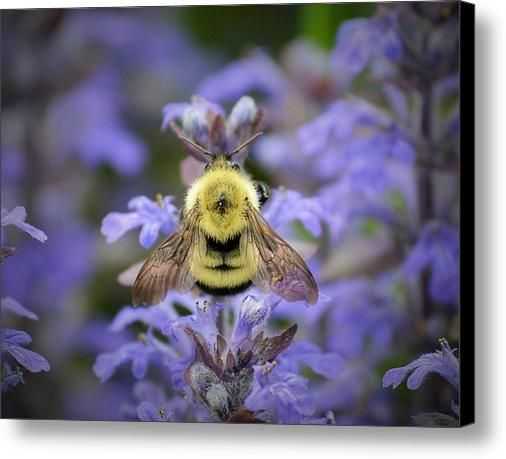 Bumblebee Back Canvas Print / Canvas Art By Josh Schwindt - Stunning Shot would look great as part of your art collection!