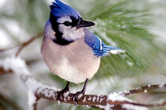 Winter Backyard Birds : Reminds me of home Winter, Art, Blue Jays, Desktop Backgrounds, Animal