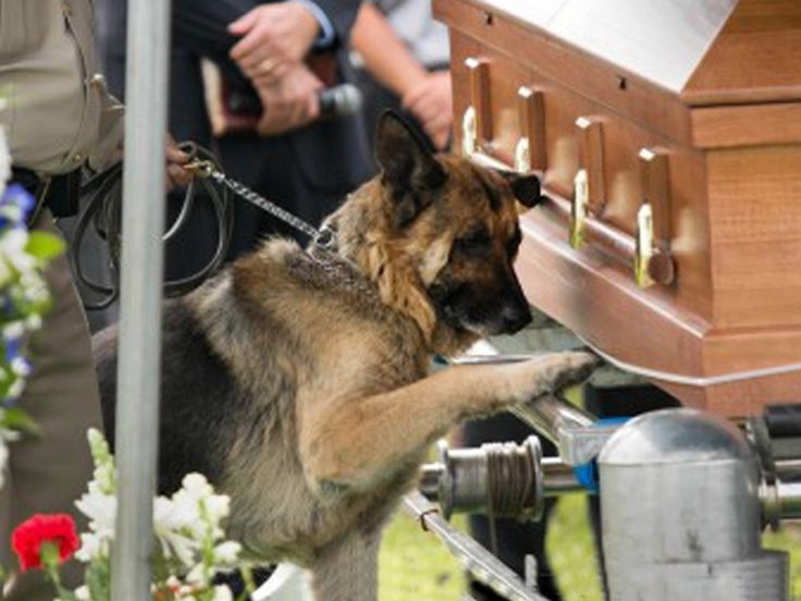 Police dog bids touching farewell to fallen human partner. A photo demonstrating the bond between a man and his dog is breaking hearts across the Internet.     The picture shows Figo, a K-9 officer, paying his last respects at the funeral of his fallen human partner, Kentucky police officer Jason Ellis. In the photo, Figo lays a paw on Ellis's casket. The 33-year-old Ellis was killed in a suspected ambush.
