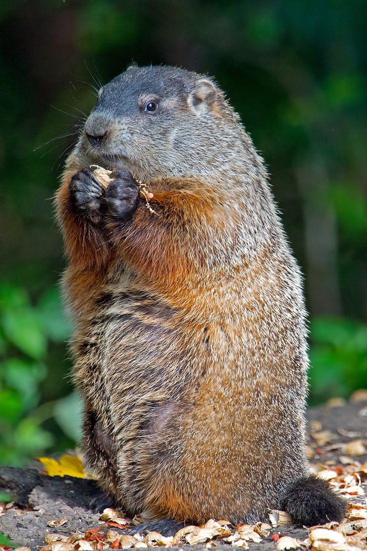 best 25 groundhog pictures ideas on pinterest happy groundhog
