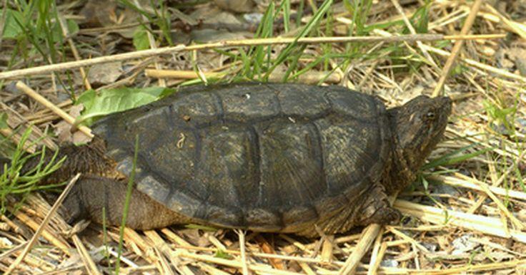 Cómo criar una tortuga caimán bebé. Las tortugas caimán viven en las aguas profundas de los ríos, lagos, canales, pantanos o arroyos. Aunque miden sólo dos o tres pulgadas de tamaño cuando salen del cascarón, estas tortugas pueden llegar a pesar hasta 150 libras cuando crecen, convirtiéndose en las tortugas de agua dulce más grandes del mundo. El gran tamaño y apetito de la tortuga ...