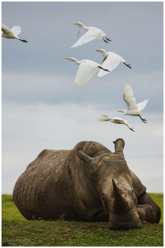 rhino by janaalt morren on 500px
