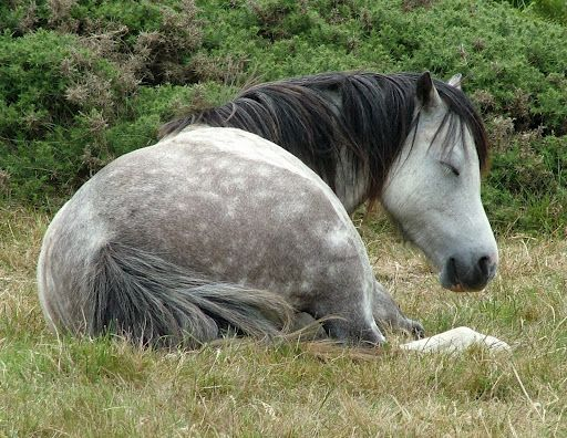 Sleepy Welsh Pony