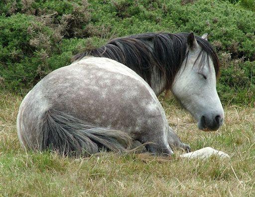 Sleepy Welsh Pony