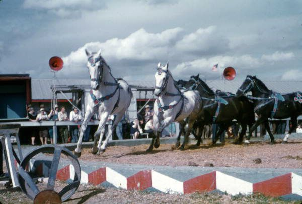 Florida Memory - View showing horses in a Ringling Circus Sunday show.