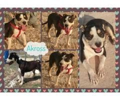 AKROSS BUSCA FAMILIA  #Adopción #adopta #adoptanocompres #adoptar #LealesOrg  Contacto y info: Pulsar la foto o: https://leales.org/animales-en-adopcion/perros-en-adopcion/akross-busca-familia_i139 ℹ   Akross es un precioso cruce de pitbull macho nacido el01/11/2011 y está castrado. El pobre estuvo mucho tiempo en la perrera.. hasta que por fin pudo salir a una residencia. Creíamos que iba a ser temporal.. pero el pobre lleva varios años en la jaula de una residencia aunque ya no lo…