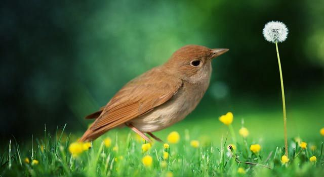 Nightingale Bird | Nightingale Bird Facts, Pictures And Information