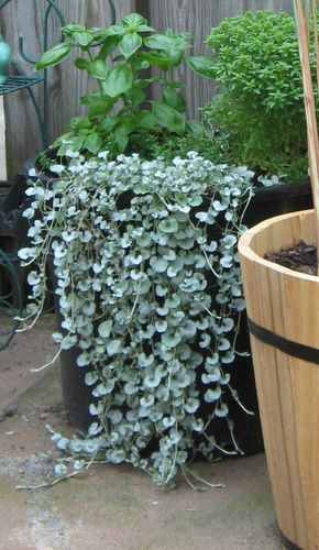 Silver Falls Dichondra - I loe the silver leaf waterfall especially with the dark planter.. must find a way to incorporate - perhaps with black mondo grass.