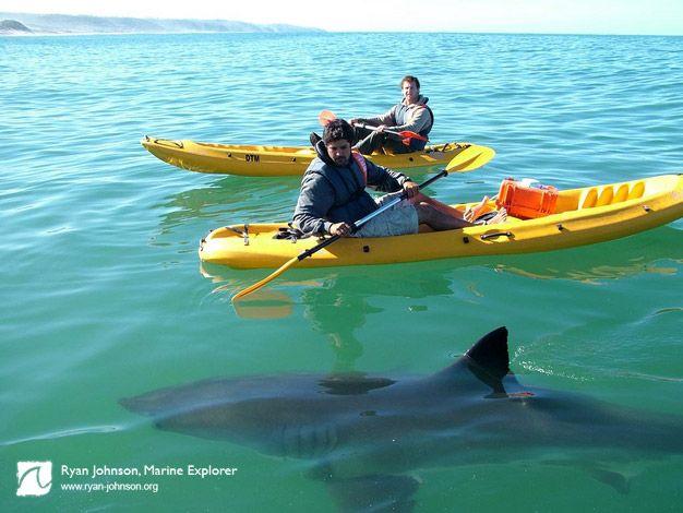 Predator prey games of great white sharks   Great White Shark ...