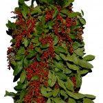 #HollyBerry #Winterberry