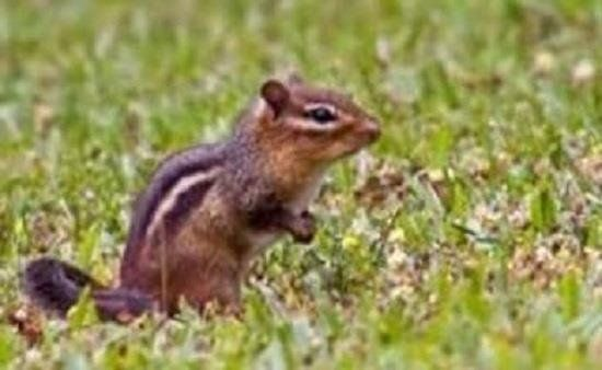 How To Get Rid Of Chipmunks On Your Property Get Rid Of Chipmunks Chipmunks Baby Chipmunk
