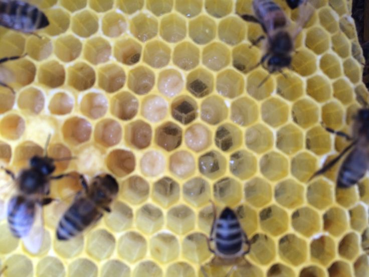 Larvae close to hatching in a new hive started from a swarm