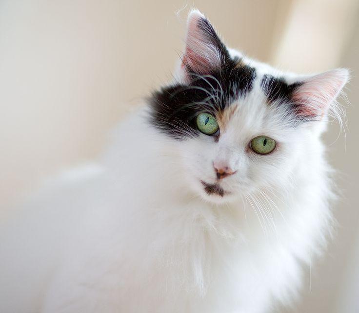Turkish van cat breeders victoria