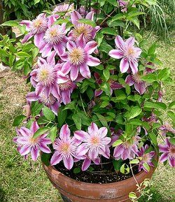 1000 images about clematis on pinterest gardens early. Black Bedroom Furniture Sets. Home Design Ideas