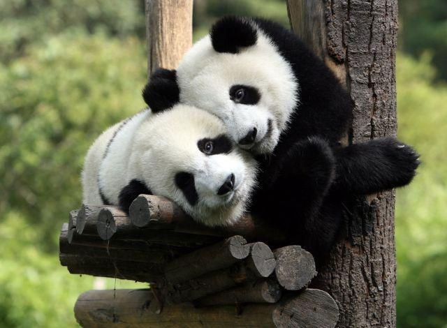 awww sooo sweet ^^: Panda Hug, Animals, Pandabear, Photo, Pandas, Panda Bears