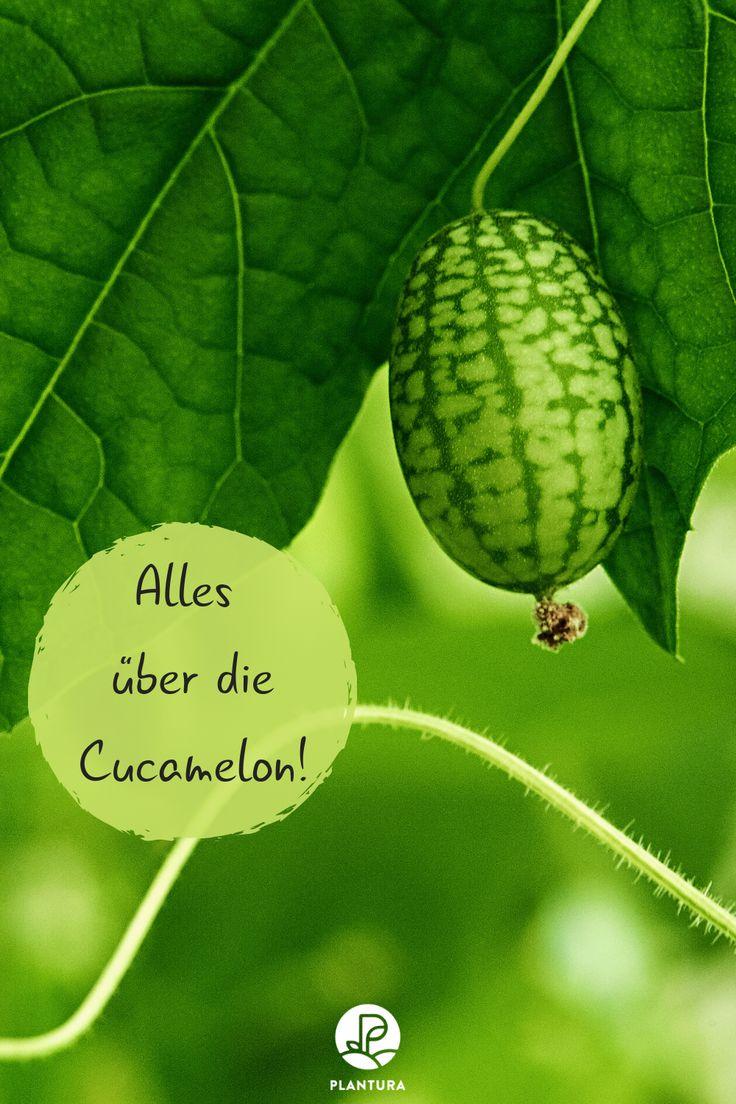 Mexikanische Minigurke: Tipps & Tricks zum Pflanzen der Cucamelon