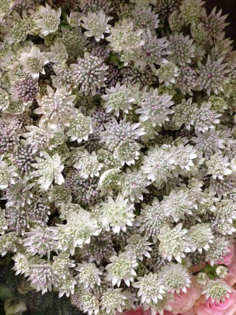 Astrantia 'Million Stars'...Sold in bunches of 10 stems from the Flowermonger…