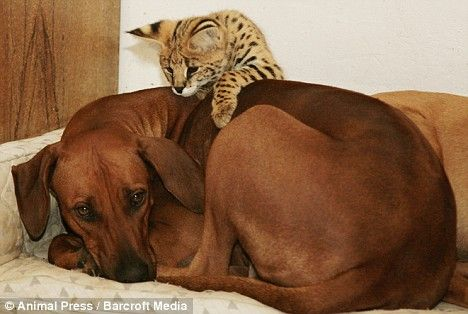 Shakira the Serval kitten with her adoptive mommy. Gentle Rhodesian.