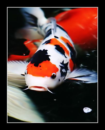 Koi Fish are one of the most popular and distinctive kinds of fish, casting a mood of tranquility over any outdoor or indoor setting.  A species of carp and close relative to the common goldfish, p...