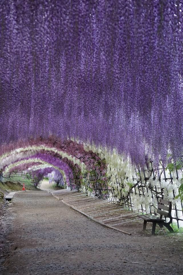 577 best wisteria images on pinterest nature gardening Wisteria flower tunnel path in japan