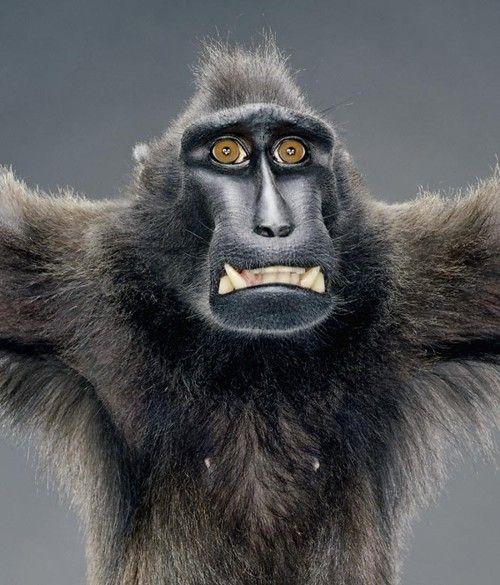 Портреты обезьян Джилл Гринберг