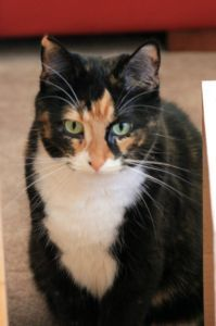 07-Jul-13  170 Panamount Road Northwest, Calgary, AB T3K 0H8, Canada  View map This is Lily. She has been missing since July 4th and got out in Panorama Hills, above the ridge towards Hanson Ranch.  is microchipped.  Lily is a 3 year old, spayed, calico, short haired cat with green eyes. She has a black (with orange spots) head, back and tail; white chest, belly, paws, and mouth; and an orange nose.  If you see her, 403 226 1970 or 403 604 5017.