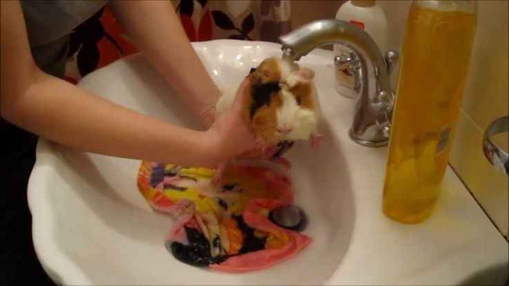 My piggie Ntalou taking her bath...She likes the water and she is just adorable!!!