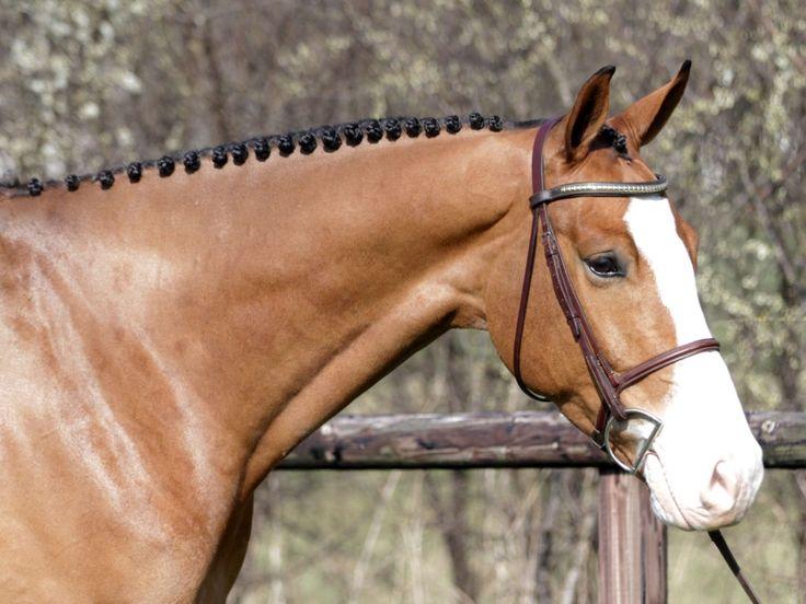 Horses for sale - Dutch warmbloods, German warmbloods and Belgian warmbloods for sale   Benny de Ruiter Stables