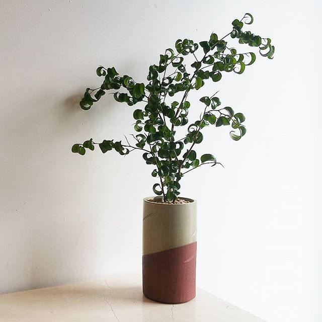 curly ficus in locally made O&K ceramic #curlyficus #ficusbarok #ficusbenjaminabarok #locallygrown #oscarandkennedyceramics #locallymade #handmadeceramic #madeineastvan #bespokebotanicalbeauty #plantdesign #livingdecor #bloomroomvancouver #bloomroombotanicalgallery #eastvanplantshop #mountpleasantplantshop #fraserhoodplantshop #vancouverplantshop #eastvan #fraserhood #vancouver #vancity #plantshop #plantstore #houseplants #indoorplants