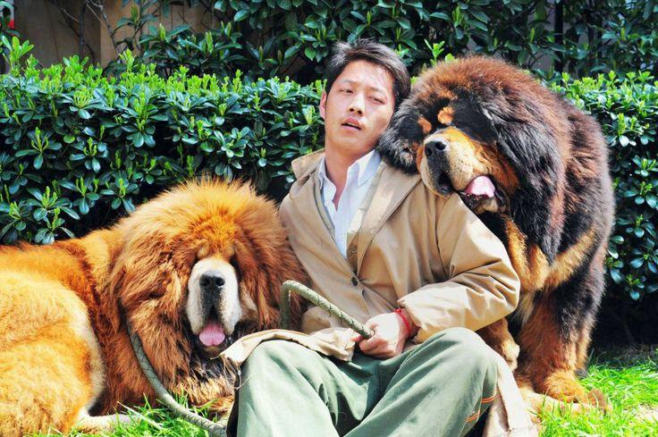 Dogo tibetano o mastín del Tibet.