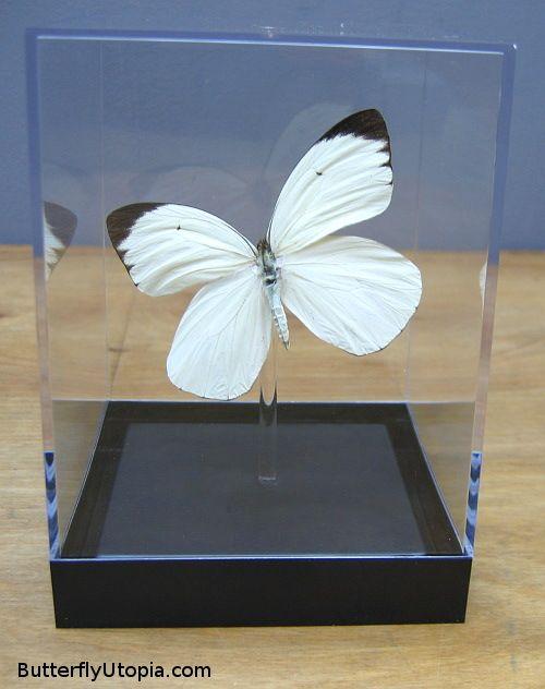 White Butterfly - Ascia buneae sublineata
